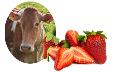 Guernsey cows and fresh strawberries